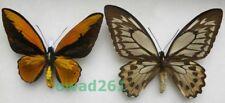 Ornithoptera croesus lydius (Felder & Felder, 1865) pair Indonesia 141,159mm5