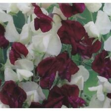 FLOWER SWEET PEA  NIGHT & DAY  40 FINEST SEEDS