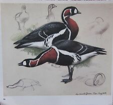 BEAUTIFUL VINTAGE BIRD PRINT ~ RED-BREASTED GEESE ~ TUNNICLIFFE
