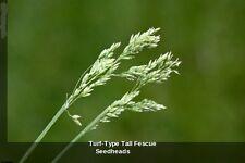 Tall Fescue Fresh Grass Seed Festuca Arundinacea Lawn Field Turf Seeds 10000 Pcs