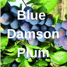 "2 Blue Damson Plum FRUIT TREE Cutting Rooting Grafting ScionBLUE DAMSON  10-12"""