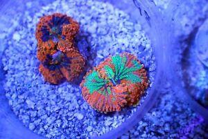 Assorted Rainbow Yuma mushroom coral