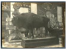 France, Paris, Section Forestière. Un bison empaillé  Vintage citrate print.  Ex
