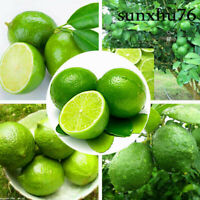 Thai Organic Key Lime Aurantifolia Seeds Citrus Lemon Seeds  20PCS Fruit Seeds