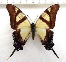butterflies,Eurytides leucaspis, Männchen ex Xaranavi, Bolivia ,No.37
