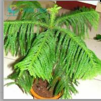 100pcs Aphelandra squarrosa seeds Bellissimi scrivanie da ufficio Fiore bonsai