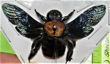 Peleng Island Iridescent Carpenter Bee Xylocopa sp. Female Spread FAST FROM USA