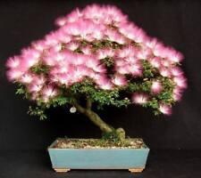10 bonsai seeds Calliandra Haematocephala Hassk