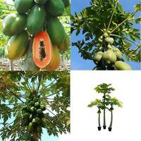 Fruits Sweet Organic Best Dwarf Maradol Seeds 30Pcs High Germination Papaya Tree