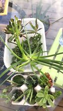 Echeveria cv. Mandala, Succulentes, Caudex, Cactus