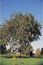 American Elm Ulmus ameriana 1-2' Lot Of 10
