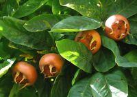 MEDLAR - fresh 5 cuttings