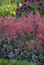 Coral Bells Firefly 100 Seeds Nice Woodland Plant Great for shade or partial sun