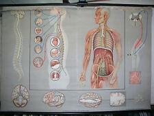 Schulwandkarte Wandbild Nervensystem Gehirn Reize 167x115cm vintage wall chart