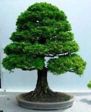 Chamaecyparis Obtusa (Hinoki Cypress) Bonsai 25 Seeds #Ornamental