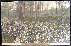 vintage Postcard Cotton Field near Aiken South Carolina SC 1909 Whitney Estate