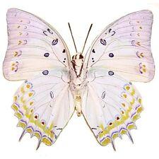 Real Framed Polyura Delphis Concha Verso Butterfly 303V