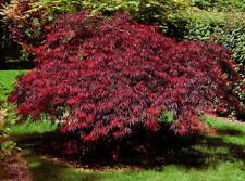 25+ Graines Erable , Japanese Maple , Acer Palmatum Dissectum Tree seeds