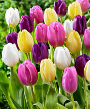 25 Triumph Tulip TULIPS Mixed Spring Flowering Bulbs Size 9/10