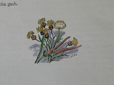 Botanical Miniatures, Hand Color Familiar Wild Flowers c1895 Mouse-tail #05