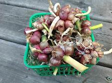 Egyptian Walking Onion - Csongrádi édeshagyma - 5+ set onions