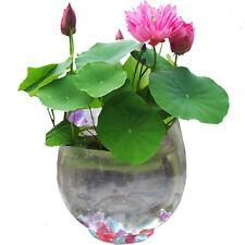 20Pcs Lotus Bonsai Lotus Seed Mixed Color Aquatic Plants Bowl Lotus Seed Garden