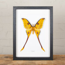 More details for comet moth in box frame (argema mittrei)