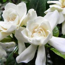 BEAU GESTE GARDENIA large frangipani-scented flowers plant in 140mm pot