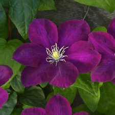 Clematis MONTE CASSINO crimson flowers Perennial Vine Plant Flower