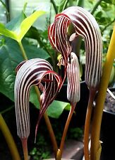 Kobralilie Arisaema fargesii, Mega-Blüten,SELTEN,10 frische Samen,bildet Knollen