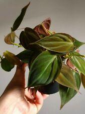 Philodendron Hederaceum Micans Velvet Plant Leaves 12cm pot Houseplant rare
