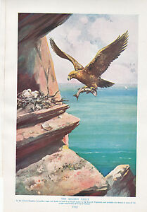1910 Naturale Storia Double Sided Stampa ~ Golden Eagle / King-Condor Lydekker