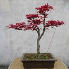 10Pcs Japanese Maple Tree Acer Palmatum Seeds Garden Home Decor Bonsai Super