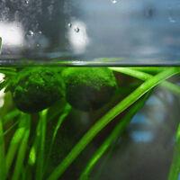 New Water Plant Moss Ball Giant Marimo Cladophora Live Aquarium Fish Tank Decor