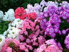 Phlox Drummondii Flower Seeds from Ukraine