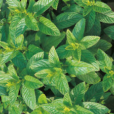 Suffolk Hierbas-Verde mint/spearmint - 1000 Semillas