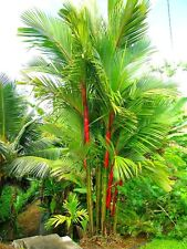 Cyrtostachys renda - Red Sealing Wax Palm Lipstick Palm Tree - 20 Fresh Seeds