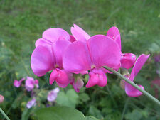 sweet pea, Everlasting Perennial Flower pink white Mix 10 fresh Seeds! GroCo