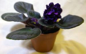 African violet Black Pearl live plant in pot