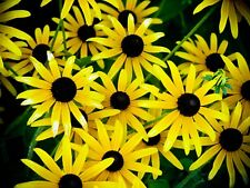 Black Eyed Susan Flower Seeds Packet 1 Gram Bees Butterflies Packed For 2019 Usa