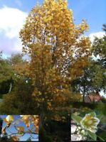 Säulen-Tulpenbaum - Liriodendron tulipifera fastigiata (80-100)