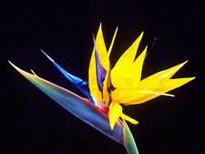 NATURE PLANT FLOWER BIRD PARADISE EXOTIC BEAUTIFUL POSTER ART PRINT BB1587A