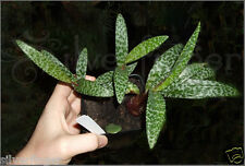 • Ledebouria Socialis Violacea — Leopard Lily — NOT SEEDS! : HEALTHY LIVE PLANTS