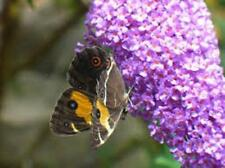 Buddleia davidii (butterfly bush) 250 graines.