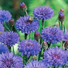 Pack Kings Seed Cornflower 'Double Blue' Flower Seeds Cottage garden
