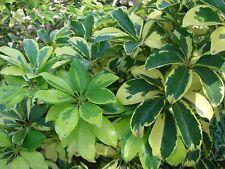 Dwarf Umbrella Tree  Schefflera arboricola   Bonsai   25 Seeds  (Free Shipping)