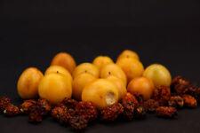 Mandragora Fruit - Mandrake Apple Harvested 2018