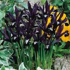 "Bolly Bulbs® Dwarf Iris Reticulata bulbs ""PAULINE""very early spring flowering"