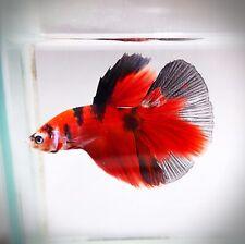"Live Betta Fish - Male - ""Suntory RED"" Classic Koi HalfMoon (High-Grade) (AAP18)"