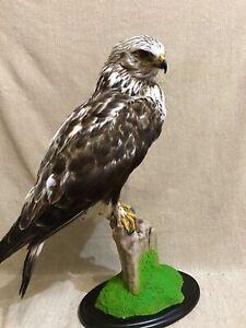 Taxidermy Mounts Common Buz.zard (Bu.teo) Real Bird Table Stuffed Home